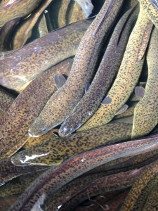 Long-Fin Marbled Eels For Sale; eels for sale; marbled eels, australian eels, eels for export